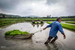 Northern farmers grow rice