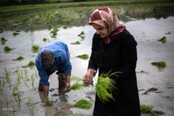 طريق الأرز الشاق من الحقول إلى الأسواق في ايران /صور