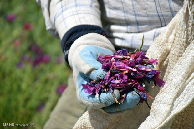 Villagers hand-pick medicinal herbs in northern Iran