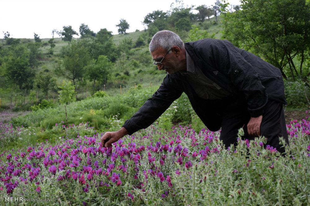 اختصاص 1200 هکتار از مراتع خراسان شمالی به گیاهان دارویی
