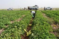 ۱۵۶ هزار تن محصولات جالیزی در سیستان برداشت می شود