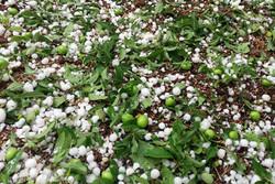 تگرگ به ۷۰۰۰ هکتار از باغات سیرجان خسارت وارد کرد