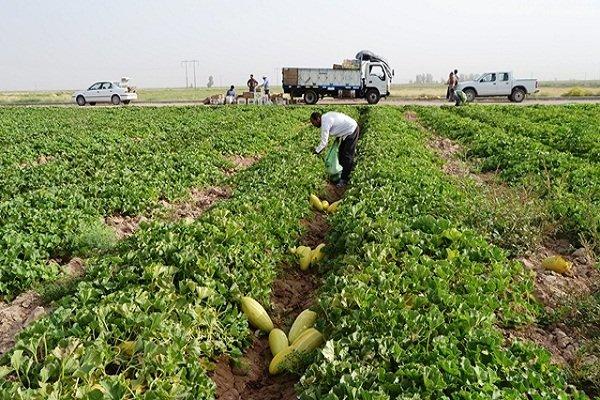 ۱۲۰ هزار تن محصولات جالیزی در استان بوشهر برداشت میشود