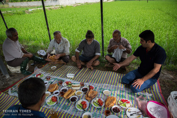 Northern Iran paddy fields painted green once again