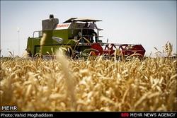 کمبود بذر جو گریبان کشاورزان را گرفت/ وزارت جهاد نمیتواند تولیدات استراتژیک را مدیریت کند؟
