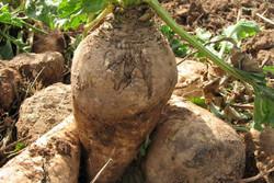 ۵۳۰ هکتار از اراضی کشاورزی آبیک به زیر کشت چغندر قند رفت