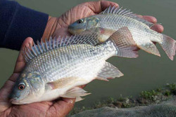 FAO issues alert over lethal virus affecting popular tilapia fish