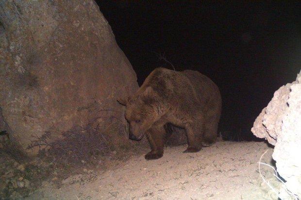 خرس قهوه ای از روستای صالح آباد فاصله گرفت/ احتمال مسمومیت حیوان