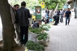 الوند زیرپای بوتهکنان میلرزد/ ممنوعیت برداشت ۳۰ گونه گیاهی در همدان