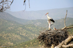 روستاهای بانه مسیر مهاجرت لک لکهای مهاجر شده است
