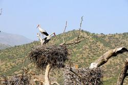 همنشینی لک لک ها با مردمان روستاهای مریوان