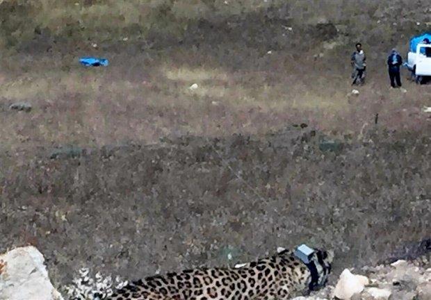 هیرکان پلنگ گلستان دفن شده پنهانکاری محیط زیست