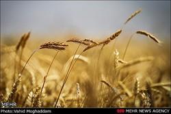 حمل ریلی ۱۰ هزار تن گندم از لرستان به استانهای مقصد