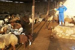 دامپزشکی تب کریمه کنگو