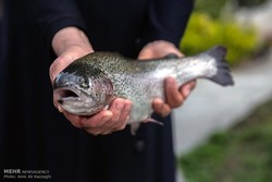 تامین ۴۰ درصد تخم چشم زده مورد نیاز برای تولید ماهی قزل آلا