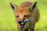 فیلمی از نجات ۲ روباه از مخزن  آب در شهرستان بختگان