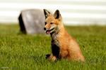 عامل آزار و اذیت یک قلاده روباه به دادگستری رامهرمز معرفی شد