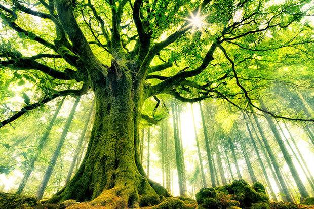 ثبت پنج درخت کهنسال البرز در فهرست آثار میراث طبیعی ملی