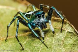 عنکبوت های سمی استرالیا