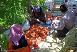 جشنواره برداشت توت فرنگی در روستای شیان سنندج برگزار شد