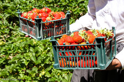 توت فرنگی استان کردستان بهترین شرایط برای صادرات را دارد