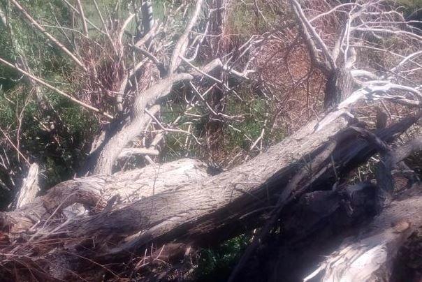 قطع درختان دهق