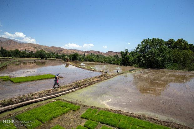 Pirinç: Zor uğraşların hasadı