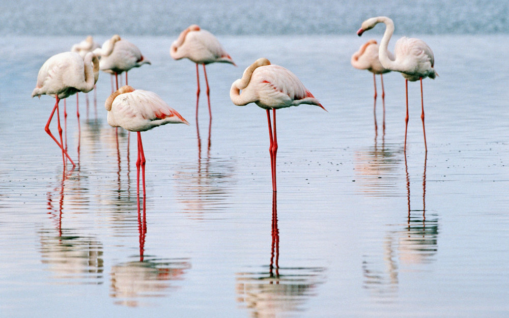 Migrating flamingos opt to stay in reviving Lake Urmia