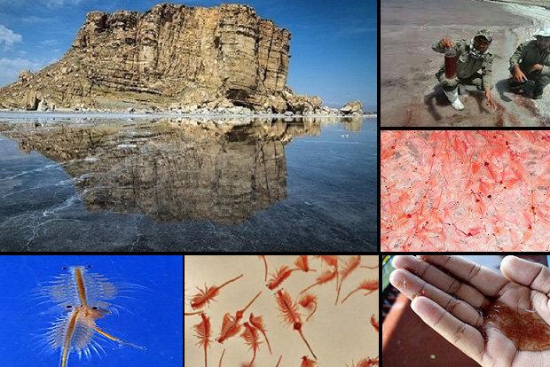 جدال تنها موجود زنده دریاچه ارومیه برای بقا/تنها یک راه وجود دارد