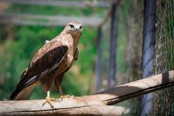 شکارچی مهمان در دام شکارچی میزبان/ سفری پرچالش برای صید شاهین
