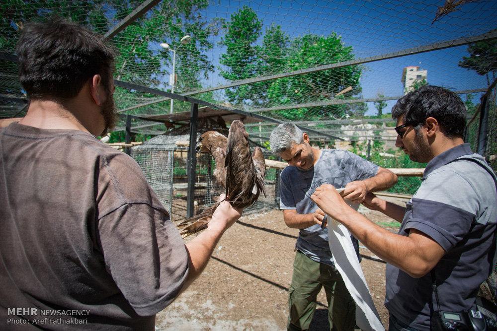 رهاسازی ١١ بَهله  پرنده وحشی در دل طبیعت