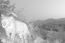 Persian leopard spotted in Western Alamut