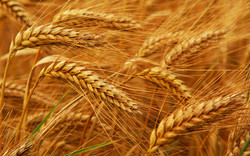 Iran's 2017 wheat output to exceed five-year average by 25%