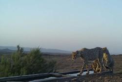 تصویربرداری از یوزپلنگ در شاهرود