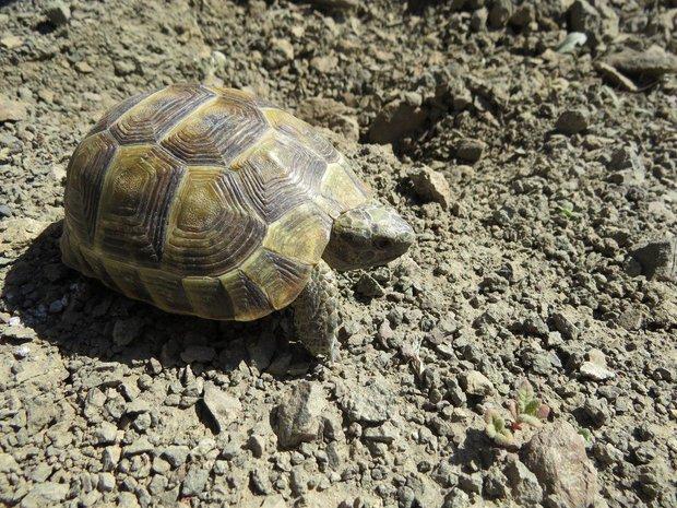لاکپشت آسیایی افغانی