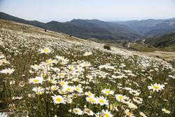 Erdebil ovalarındaki papatya çiçeği