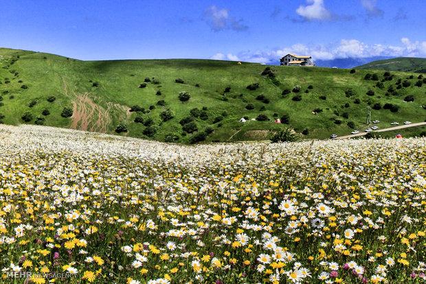 سهل تغطيه زهور البابونج في محافظة اردبيل
