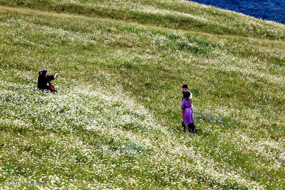 دشت گل های بابونه در اردبیل