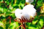 توزیع ۷۰۰ تن بذر پنبه بین کشاورزان گلستانی