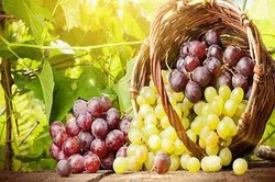 انگور به پیشگیری از سرطان ریه کمک می کند