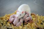 افزایش تولید حیوانات آزمایشگاهی موسسه رازی تا چهار برابر