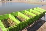 پرورش میگوی متراکم در حاشیه رودخانه مند استان بوشهر اجرا میشود