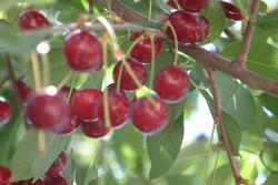 İran'da vişne hasadı başladı