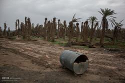 نجات نخلهای آبادان در گرو پرداخت حقابه است/ طرح نیشکر رحمی ندارد