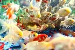 پیش بینی تولید ۳۵ میلیون قطعه ماهی زینتی/افزایش مصرف سرانه آبزیان