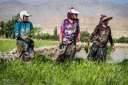 شالیزارهای فیروزآباد استان فارس