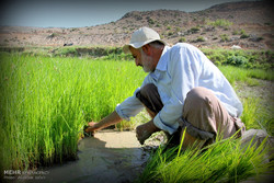 نشاء برنج در استان گلستان
