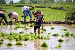 نشاء برنج در جامو و کشمیر هند