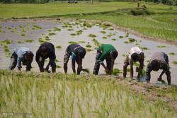 کاشت شالی در مزارع کشاورزی شهرستان چرداول