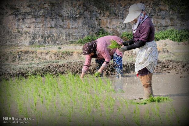 مزارع الارز في محافظة كلستان  الايرانية